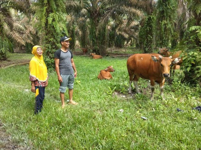 Warga saat menunjukkan sapi-sapi bantuan pemerintah yang kini masih dikembangbiakkkan